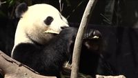 San Diego Zoo saying goodbye to giant pandas