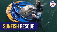 WATCH: Aquarium rescues ocean sunfish from Cape Town dry dock