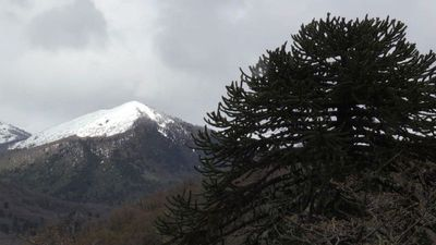 Chile's pine forests: a botanical dinosaur bound for extinction?