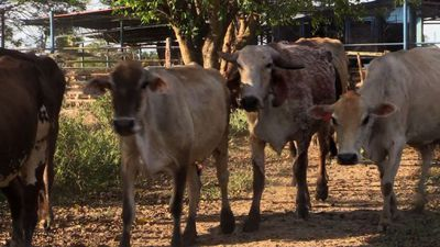Raising cattle a risky business for Venezuelan ranchers
