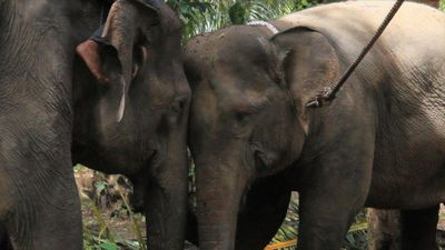 Wild elephant expelled from Indonesian village