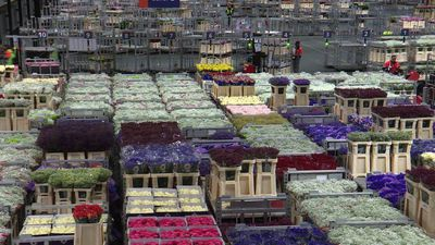 Dutch flower trade challenged by Brexit