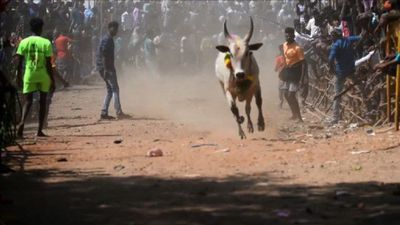 Indian bullfighters participate in Jallikattu festival