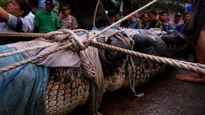 Crocodile mauls woman to death in Indonesia