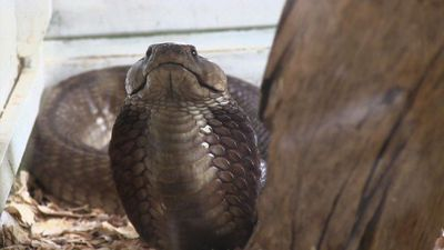 Kenyan snake farm owner battles to secure more anti-venom