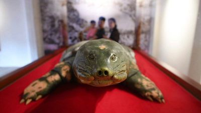Eternal shell: Sacred turtle embalmed in Hanoi