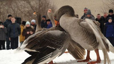 Fowl play: Russia's traditional geese fights