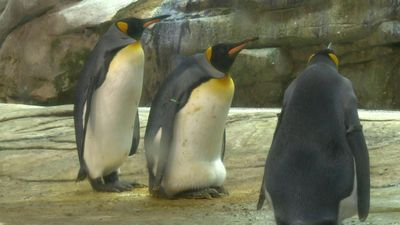 Berlin Zoo gives gay penguins egg after they fail to hatch stone