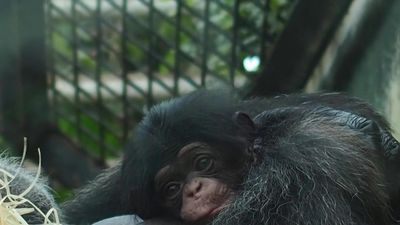 Baby chimp born at French zoo