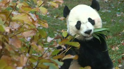 Celebrity giant panda Bei Bei Bei leaves the DC zoo for China
