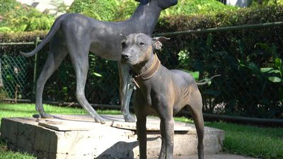 Revered by Aztecs, Mexican hairless dog in style again in hipster era