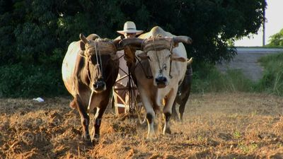 During fuel shortage, oxen and horses keep Cuba moving