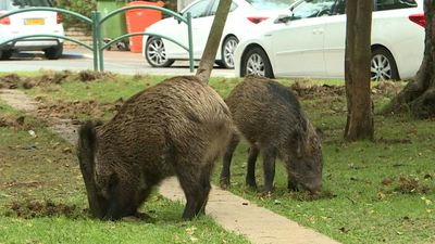 Boorish boars causing trouble in Israel's Haifa