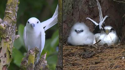 In Seychelles, a tiny island coaxes bird back from brink