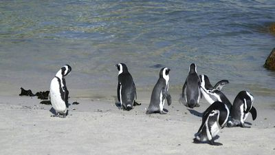 Endangered African penguins under threat from tourism
