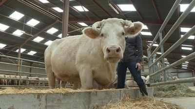 """Idéale"", Charolais cow, muse of Paris Agriculture Show"