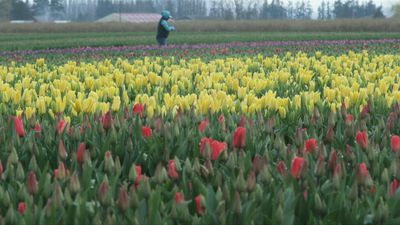 Coronavirus: Tulip festival closure sees flowers for health worker