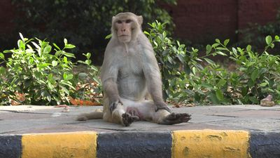 Monkeys, dogs, cows reclaim India's streets amid virus lockdown