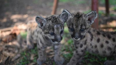 Pandemic and Quarantine: two puma cubs born at Mexican zoo
