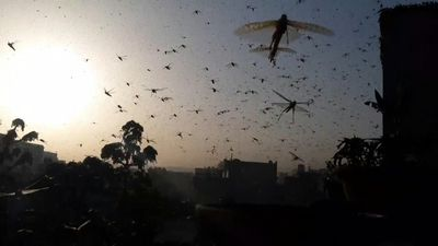 India sees worst locust plague in almost three decades