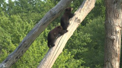 Black bear cubs make their debut in eastern France zoo