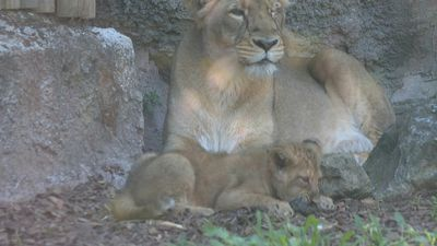 Birth of two Asian lion females at the Rome Zoo