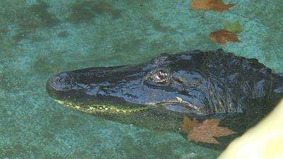 Belgrade zoo marks 83 years with Muja, world's oldest captive alligator