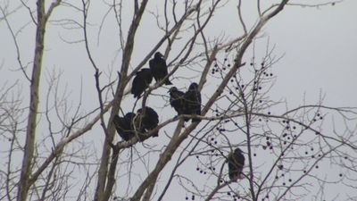 Scores of vultures gather near MD shopping center