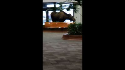 Moose wanders into Alaska hospital building