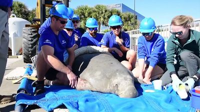 Manatee rescued in Fla. as water temperatures drop