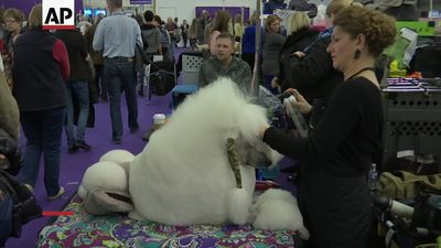 Westminster Kennel Club dog show underway in NY