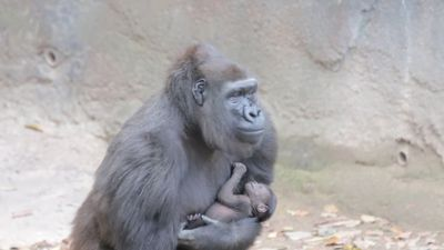 Zoo welcomes endangered gorilla baby