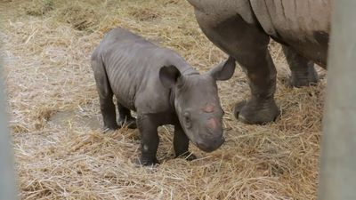 It's a girl: Endangered rhino born at Iowa zoo