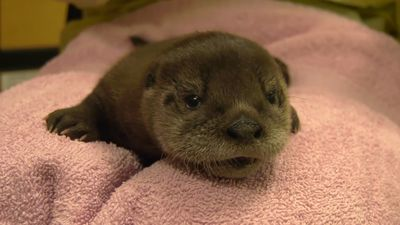 Otter pup being hand-reared at Chicago zoo