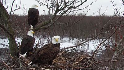 Bald eagle trio raises eaglets in Ill. nest