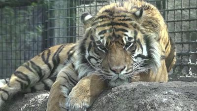 Director: Kansas zoo investigating tiger attack