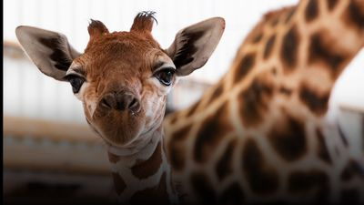 Baby giraffe gets therapeutic shoes to help walk