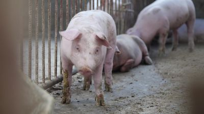 Pork farmers in China hit hard by swine fever