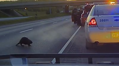 Alaska police dashcam films uncertain beaver