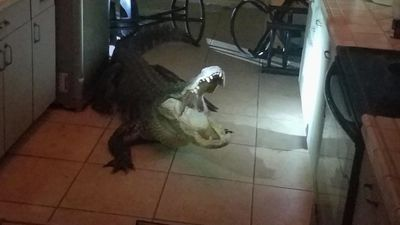 11-foot alligator removed from Florida home