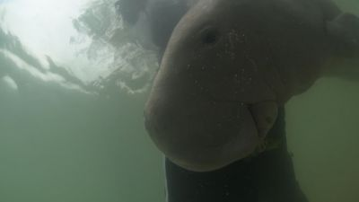 Meet a cuddly baby dugong named Marium