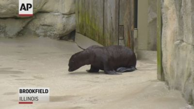 Sea lion pup makes its debut at Illinois zoo