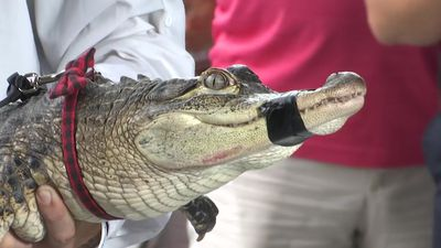 Fla. expert captures alligator at Chicago lagoon
