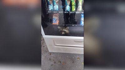 Racoon invades snack vending machine, later freed