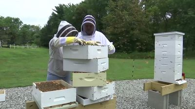 Military veterans turn to beekeeping for relief