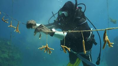 AP series: Jamaica corals come back from the brink