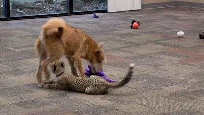 Cheetah and puppy team up at Ohio zoo