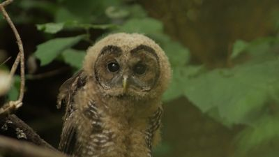 What Can Be Saved? Owl killings spur moral debate