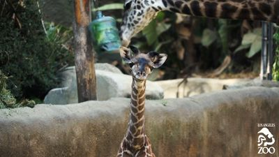 Tall tale: Baby giraffe debuts at Los Angeles Zoo