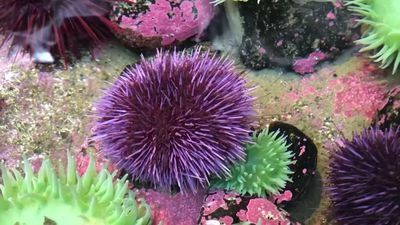 Can we save kelp forests by eating sea urchins?